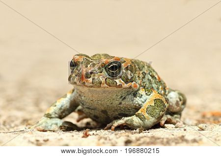 common green toad on the ground ( Bufotes viridis )