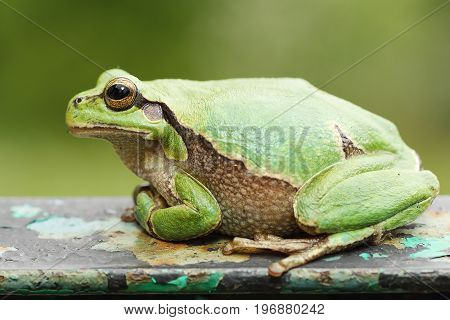 closeup of a cute colorful european tree frog ( Hyla arborea )