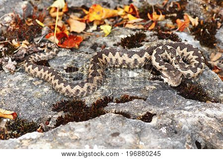 dangerous european viper in natural habitat the nose horned adder ( VIpera ammodytes )