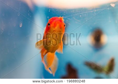 One goldfish swimming in aquarium looking funny or sad
