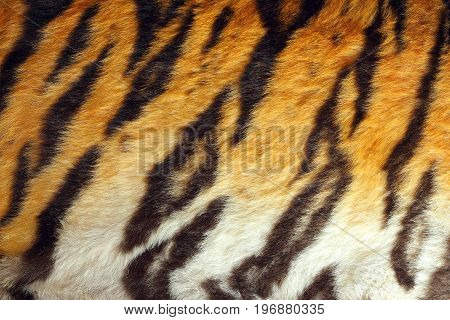 detailed tiger colorful pelt texture of real animal leather