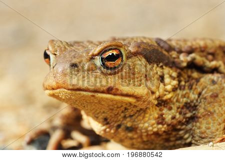 macro portrait of ugly brown european toad ( Bufo female )