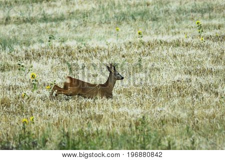 roe deer buck running in wheat field ( Capreolus )