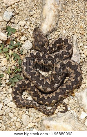 Vipera ammodytes basking on natural habitat in sittu image of dangerous and venomous nose horned viper