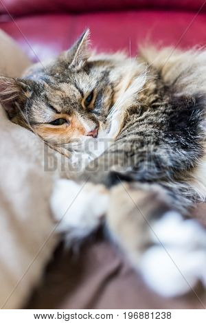 Calico Maine Coon Cat Closeup Resting Head On Pillow On Sofa