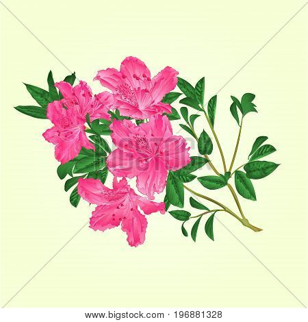 Twig pink rhododendron with flowers and leaves botanical vintage vector editable illustration hand draw