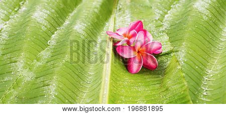 Banner Group Pink Frangipani on Palm Leaf Tropical Beauty Copy Space Thailand Concept Beauty