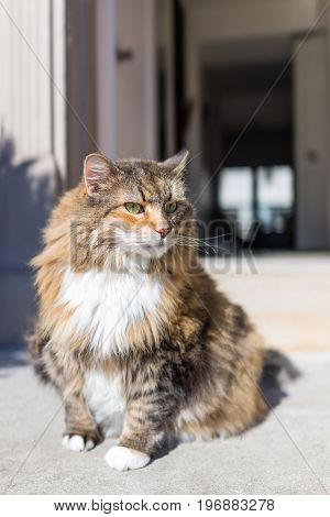 Calico Maine Coon Cat With Green Eyes Sitting Outside Squinting