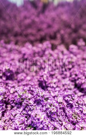 Pink Purple Tall Long Fake Lupine Flowers As Decoration