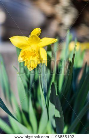 One Open Yellow Daffodil With Green Leaves Macro Closeup