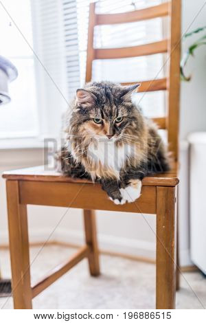 Closeup Portrait Of Calico Maine Coon Cat Lying Down On Wooden Chair By Window
