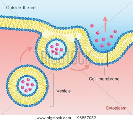 Exocytosis - vesicle transport that carry very large molecules across the cell membrane. Vector illustration