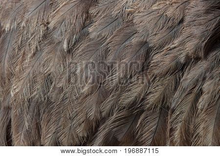 Greater rhea (Rhea americana), also known as the common rhea. Plumage texture.