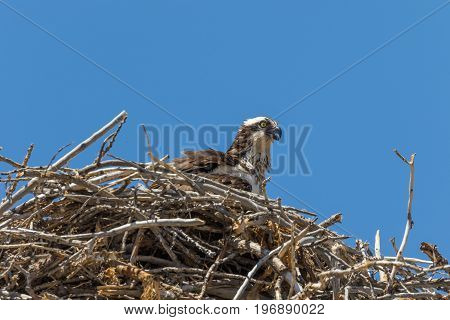 an osprey sitting on its nest of twigs and branches