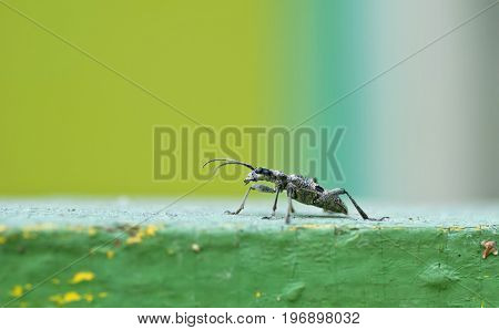 Capricorn Grey Beetle