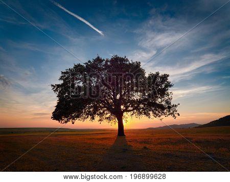 Beautiful and old Oak on field at the sunset, Dobrogea, Romania