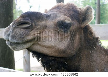 A closeup view of the face of a healthy Camel.