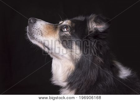 Gorgeous black and white sheep dog on a black background