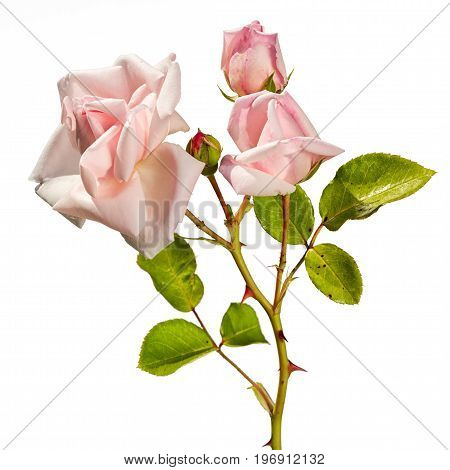 cluster of pink climbing roses with buds isolated on white background