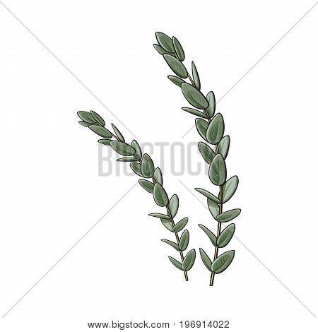 Two beautiful eucalyptus twig, branch decoration elements, sketch vector illustration isolated on white background. Realistic hand drawing of beautiful eucalyptus twig, floral decoration element