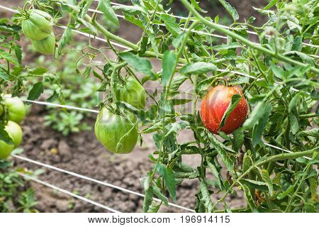 Bushes With Ripening Tomatoes On Ropes In Garden