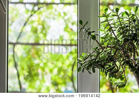 houseplant near window of country house and view through the window of unfocused vineyard outdoors in summer season