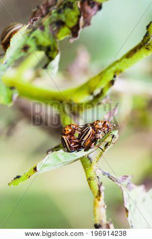 Couple Of Colorado Potato Bugs On Potato Bush