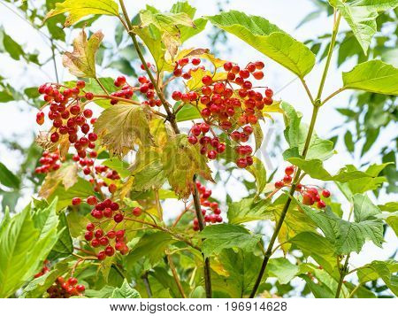 Ripe Fruits Of Viburnum Plant In Summer