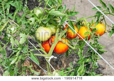 Bunch Of Ripening Tomatoes On Bush In Garden