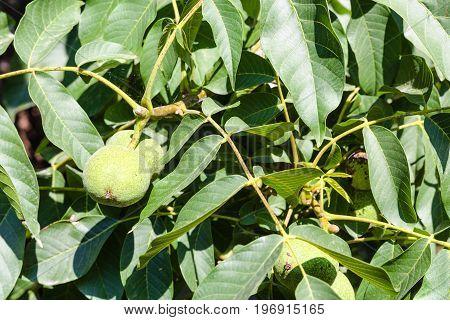 Walnut Fruits In Green Leaves On Tree In Summer