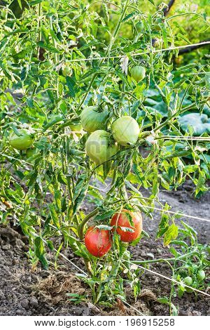 Ripening Tomato Fruits On Bushes In Evening