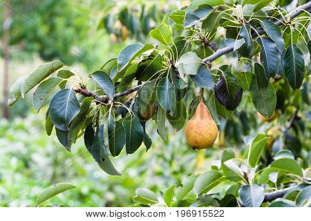 Branch With Ripe Pear In Garden In Summer Season