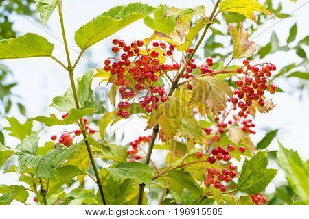 red fruits of Viburnum plant (Viburnum opulus guelder- rose kalyna) in summer season in Krasnodar region of Russia