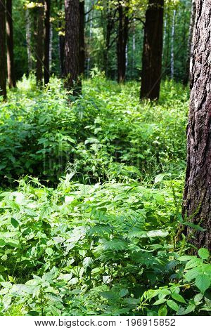Green Foliage Of Forest Undergrowth In Summer