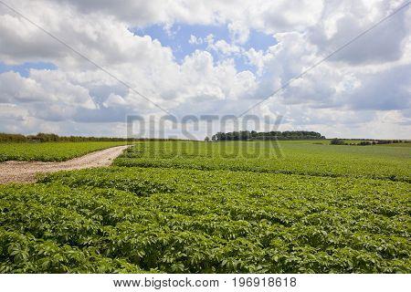 Yorkshire Potato Crop