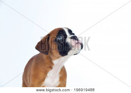 Adorable boxer puppy looking up on a isolated white background