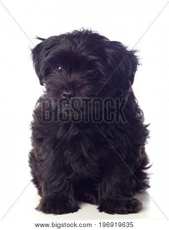 Beautiful Black Pekingese Dog Isolated On a White Background