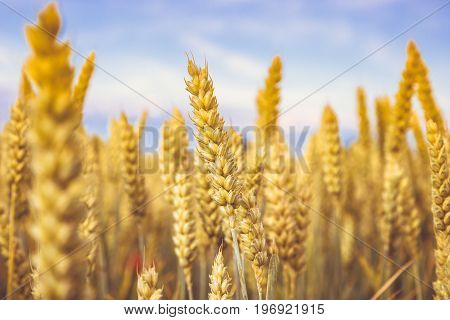 Golden wheat ripe in the field. Wheat stalk and grain close p, selective focus soft shades of yellow and orange background. Summer harvest concept for food growing crops health nutrition agriculture.