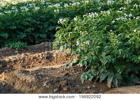 Potato Flowers Blooming In The Field. Field With Flourishing Potato Plants (solanum Tuberosum).