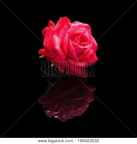 Red rose flower with water drops isolated on a black background with a natural reflection. Side view.