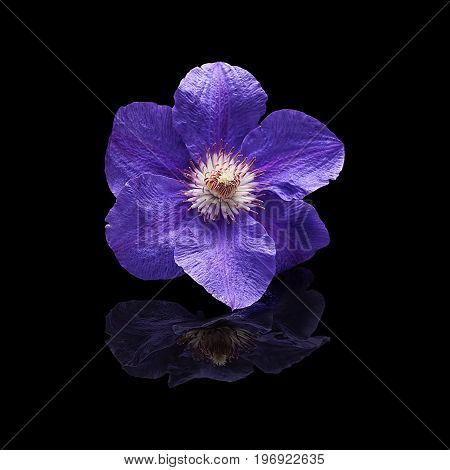 Flower plants clematis purple on a black background with a real reflection isolated