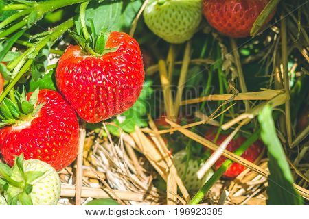 Bunch of fresh growing strawberries begining to ripe.