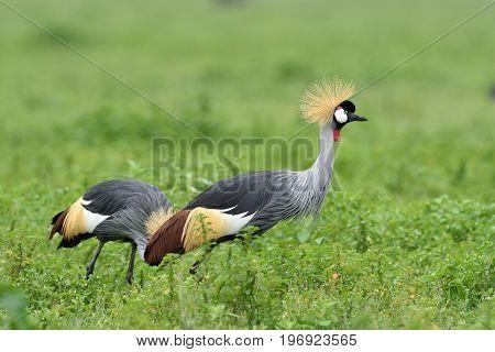 grey crowned crane in natural habitat (balearica regulorum)