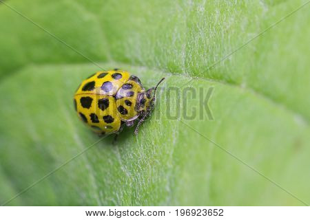 Twenty two Spot Ladybird (Psyllobora 22-punctata) on leaf