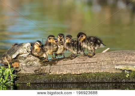 Mallard Ducklings (anas Platyrhynchos) Family Lined Up On A Log In Golden Light