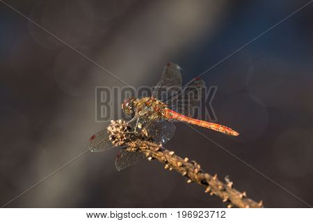 Male Common Darter Dragonfly (sympetrum Striolatum) Perched On Stick