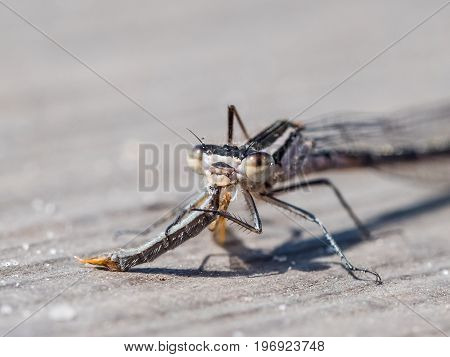 Teneral Blue-tailed Damselfly (ischnura Elegans) Feeding On, Eating  A Crane Fly