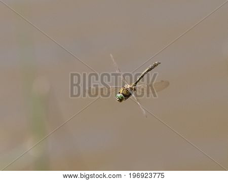 Top Front View Of Downy Emerald Dragonfly (cordulia Aenea) Flying In Flight