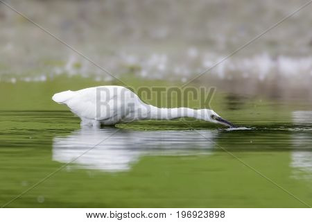 Little Egret (egretta Garzetta) Fishing For Small Prey In The Shallows Of A Lake