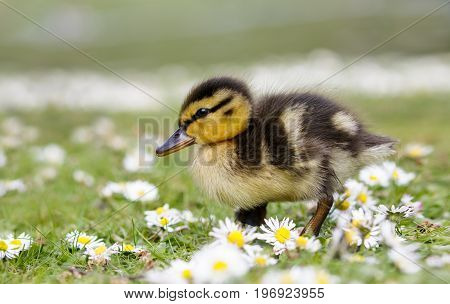 Cute Fluffy Mallard Duckling (anas Platyrhynchos)  Wondering Through Spring Daisies